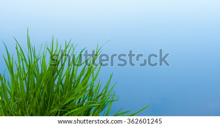 Green grass against blue water surface. Water-plant. Image has copyspace. - stock photo