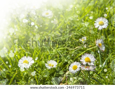 Green grass and chamomile flowers in the nature, meadow of flowers, spring floral landscape