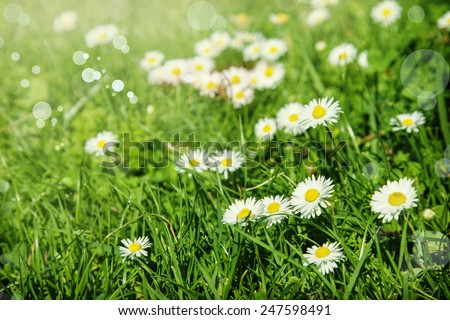 Green grass and chamomile flowers in the nature, meadow of flowers, spring floral landscape - stock photo