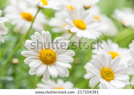 Green grass and chamomiles in the nature - stock photo