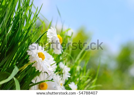 Green grass and chamomiles on the blue background - stock photo