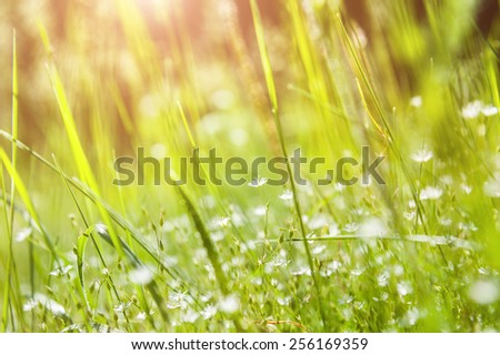 Green grass and little white flowers on the field. Beautiful summer landscape. Soft focus - stock photo
