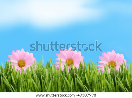 Green  grass  and pink daisy background against a blue sky