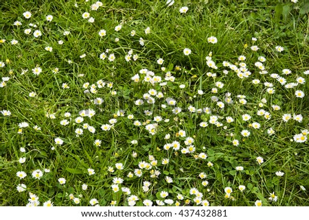 Green grass and white daisies. - stock photo
