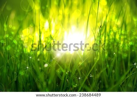 Green grass at sunrise. Clouseup scene. - stock photo