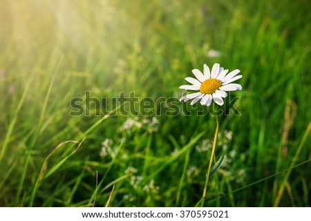 Green grass background and white camomile in sunbeam - stock photo