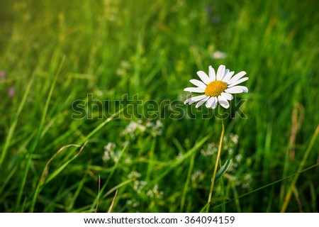 Green grass background and white camomiles in nature.  - stock photo