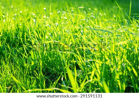 Green grass background in the summer sun