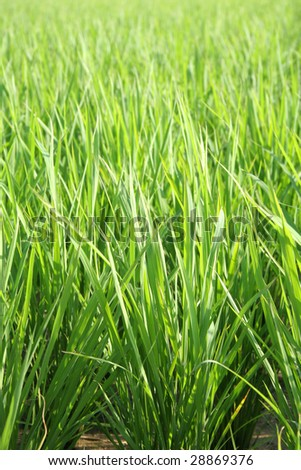 green grass background - rice