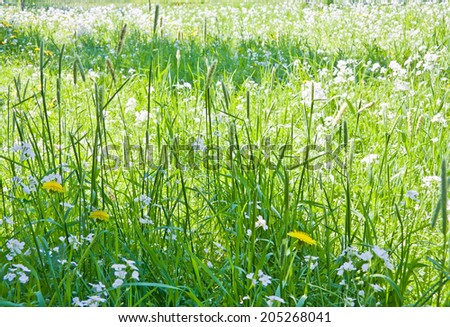 Green grass background with yellow dandelions and white flowers