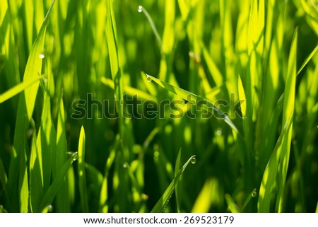green grass close-up with dew in the morning - stock photo