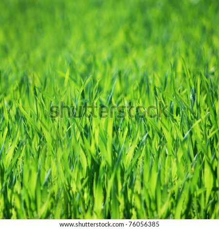 green grass closeup.fresh meadow closeup - stock photo