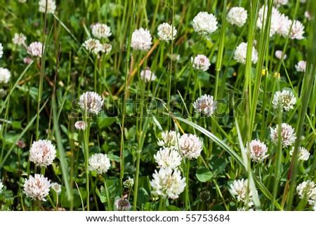 Green grass, clover flowers, selective focus - stock photo
