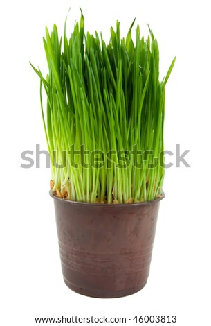 Green grass in a pot is isolated on a white background