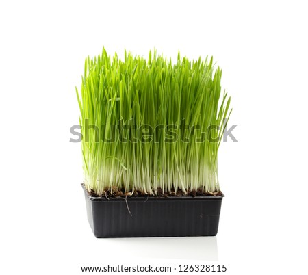 Green grass in a pot. Isolated, over white background