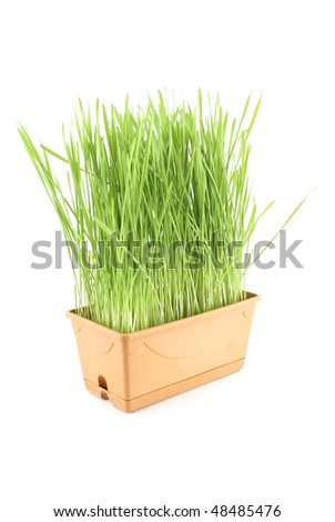 Green grass in flower pot isolated on white background.
