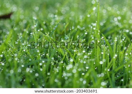 green grass in the morning with water drops on leaves