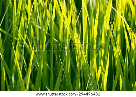 Green grass in yellow sunlight. Summer (spring) abstract nature background: lawn, field, garden, meadow sunny herbs in clear focus in sun beams - stock photo