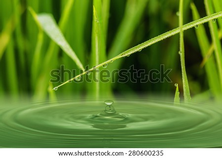 Green  grass leaves with dew drops ,  on surface waters - stock photo