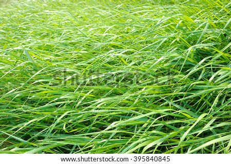 Green grass nature background, Grass blown by the wind in the morning - stock photo