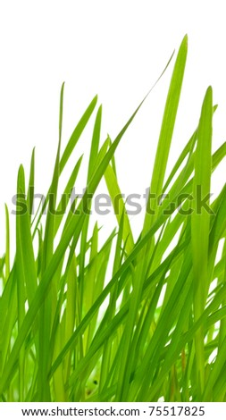 green grass (oats) isolated on white