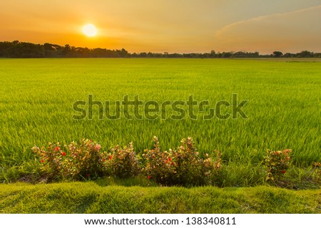 Green grass paddy rice field at sunset - stock photo
