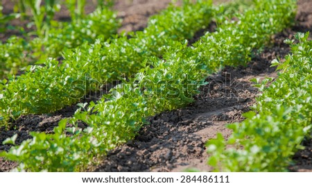 Green grass parsley in the garden - stock photo