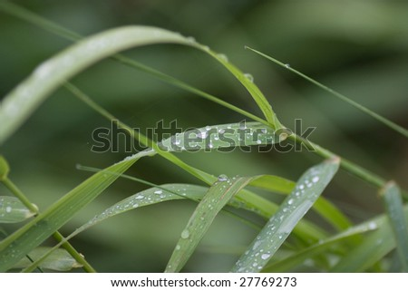 green grass (sedge) with beads of early-dew - stock photo