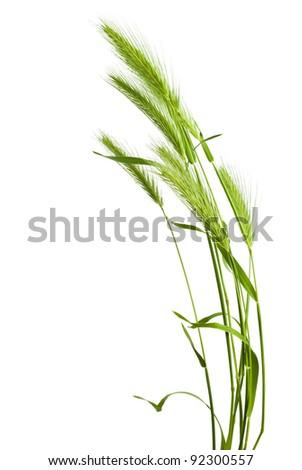 green grass spikelet - stock photo