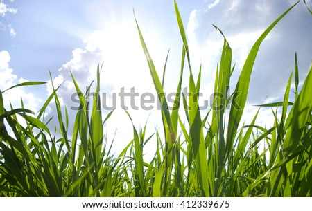 Green grass, sun and blue sky background.  - stock photo