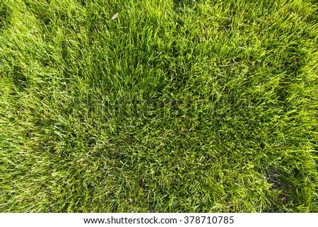 Green grass texture. Grass was cut. Top view. - stock photo