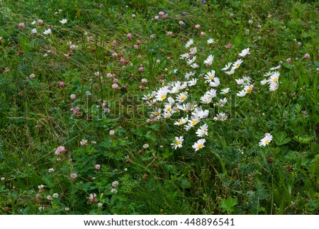Green grass, white chamomiles and clover with water drops on it in rainy day. Grass background.  - stock photo