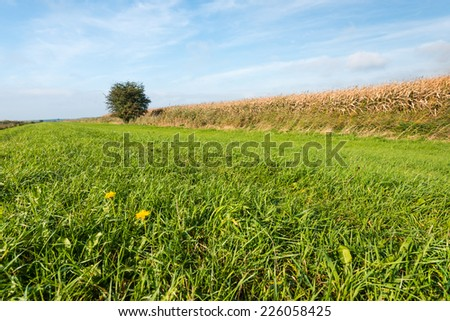 Green grass with a yellow flowering dandelion in the foreground and ripe fodder maize in the background on a sunny day in autumn with a blue sky. - stock photo