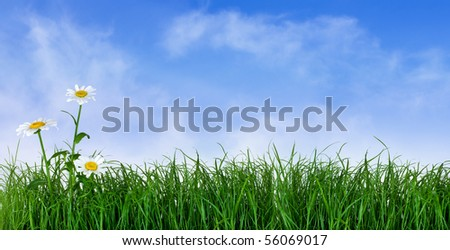 Green grass with daisy flowers isolated on white - stock photo