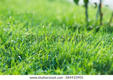 Green grass with dew drops