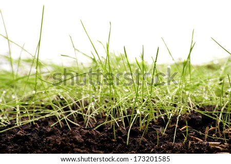 Green Grass with Fertile Soil and Drops Dew / isolated on white - stock photo