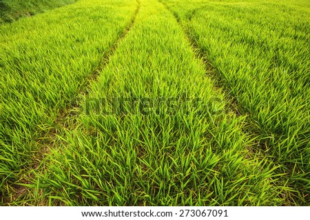 Green grass, young corn, rye on a sunny day - stock photo