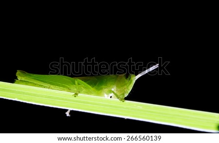 green grasshopper - stock photo