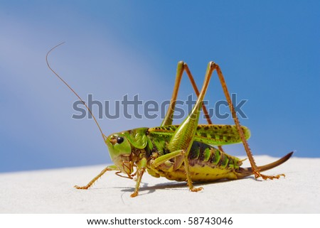 Green grasshopper  against the blue sky