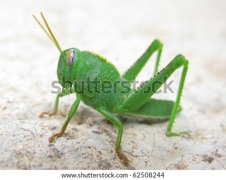 Green grasshopper in a macro shot - stock photo