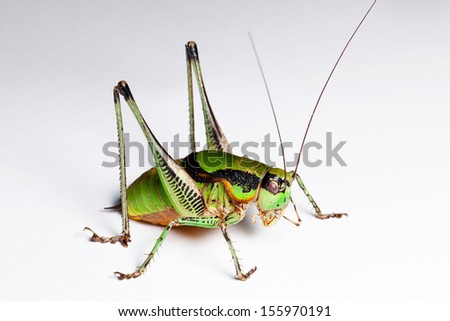 Green Grasshopper isolated - stock photo
