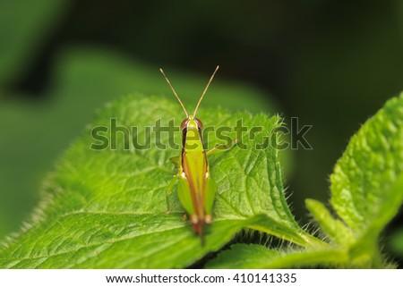 Green grasshopper on a green leaf. - stock photo