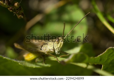 Green grasshopper on a leaf - stock photo