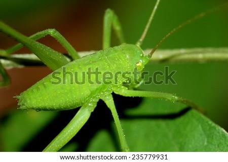 Green grasshopper on leaf - stock photo