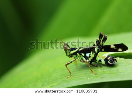 green grasshopper on leaf, macro.