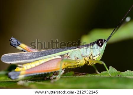 Green grasshopper on the leaf  - stock photo