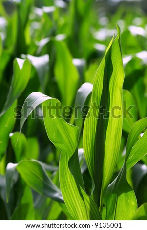 Green growing leaves of corn in a field - stock photo