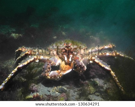 Green haired red King Crab holding a clam - stock photo