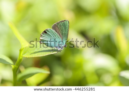 Green Hairstreak - macro