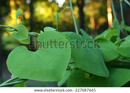 green heart leaf in front of bokeh background in evening sunshine - stock photo